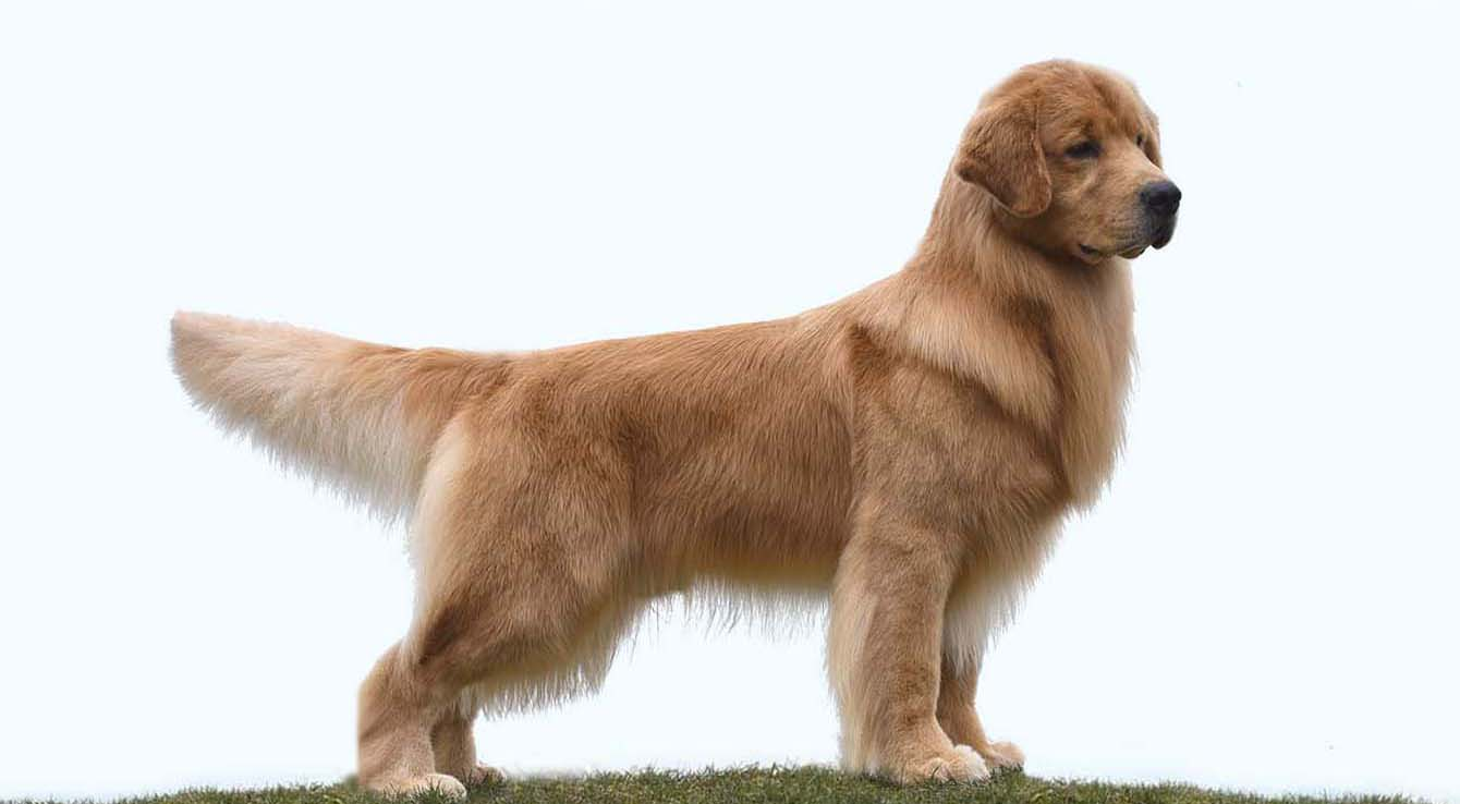 golden retriever stud dog albert CH Can MBIS RBIS GRCH Chestnut Doesn't Get Better Than This BPIS Can SDHF CGN